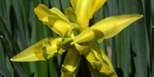 Daffodil, Macetown.