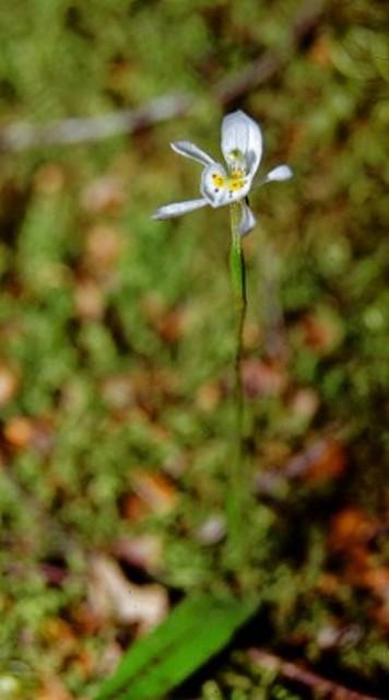 <i>Aporostylis bifolia</i>.