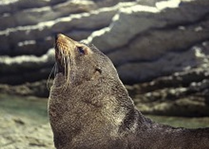 New Zealand fur seal basking amongst limestone, Kaikoura Peninsula