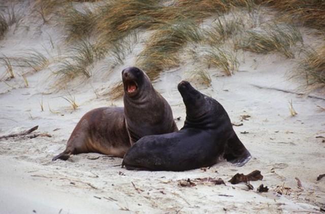 Hooker's Sea lions, Sandfly Bay