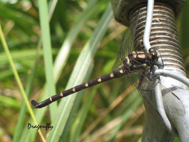 Dragonfly (Odonata sp.)at Mitre Flats Bridge