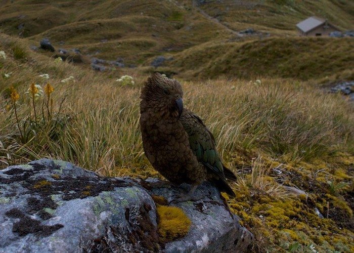 Kea at MacKinnon Pass