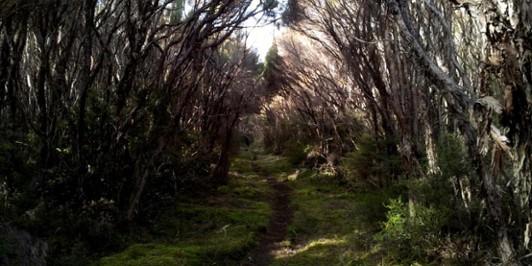 Kaweka Flats - Manuka tunnel