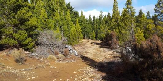 Wilding Pines in the eastern Kawekas