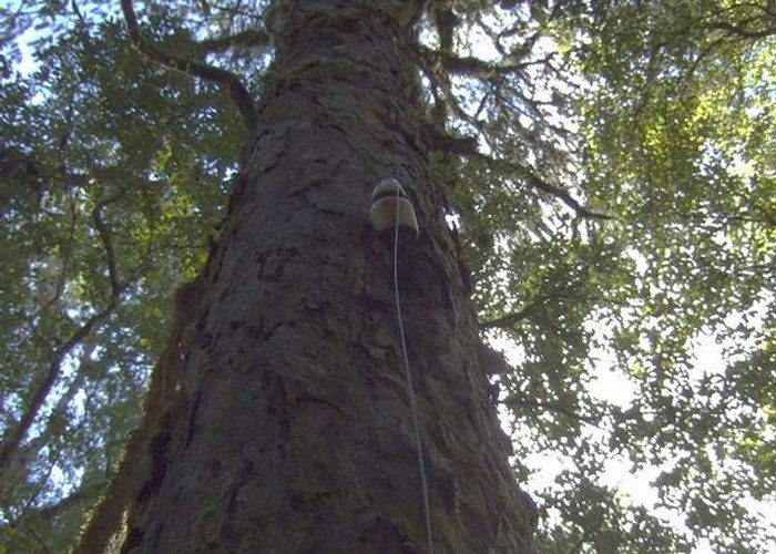 Insulator grown into Rimu tree near Dough Town  August 2012