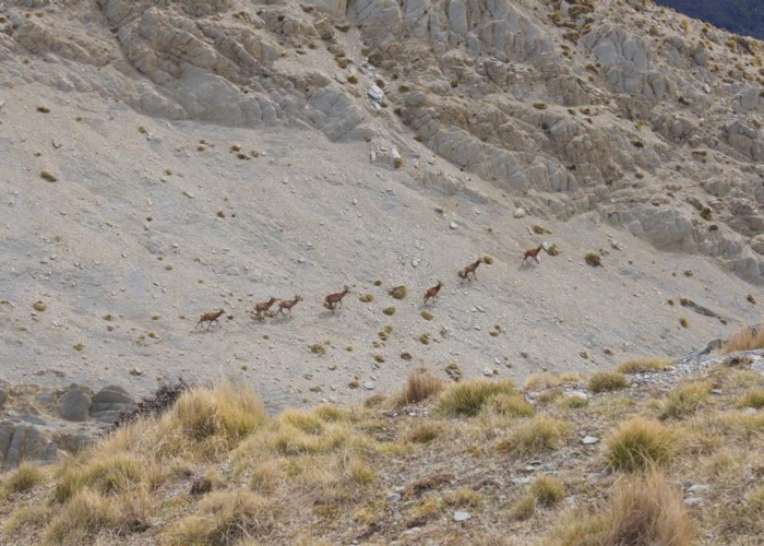 Stags on Mt Alexander (Kaikoura)