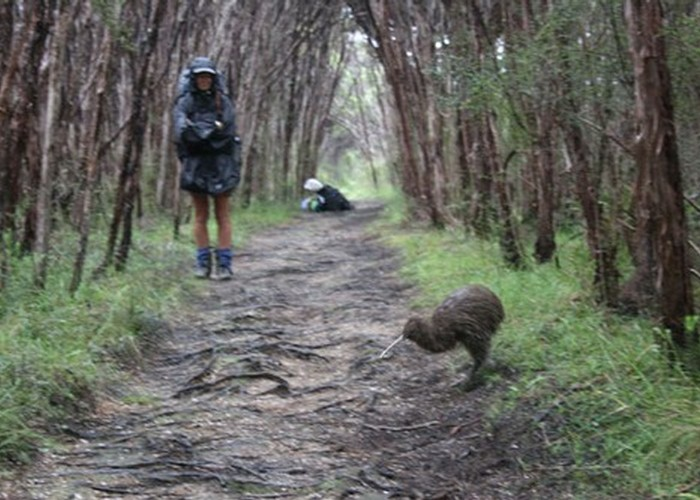 Stewart Island kiwi | New Zealand Tramper