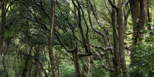 Tawa forest