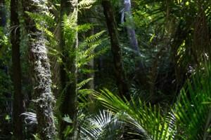 Nikau forest