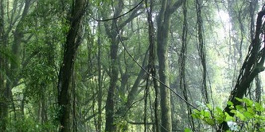 Tawa forest in mist, Kakepuku