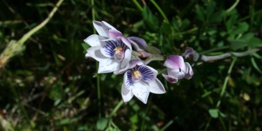Thelymitra pulchella