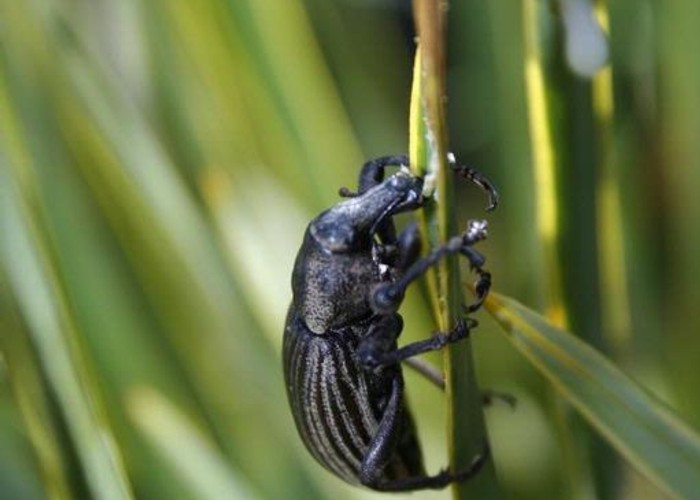 Speargrass weevil