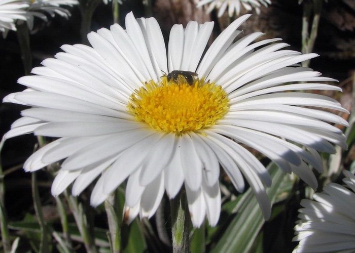 Mountain Daisy and Fly - Mt Arthur