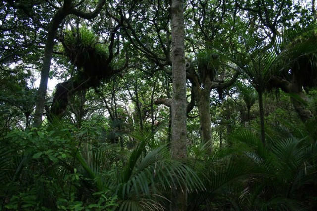 Nikau and puriri forest
