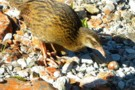 Willy the Weka