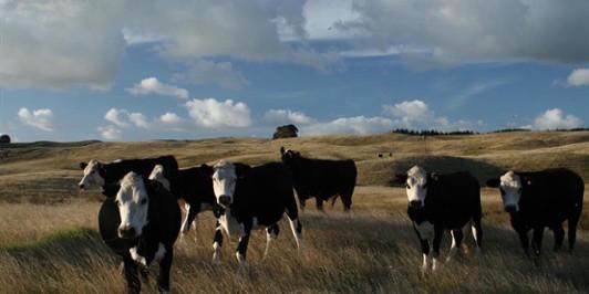 Kai Iwi cows