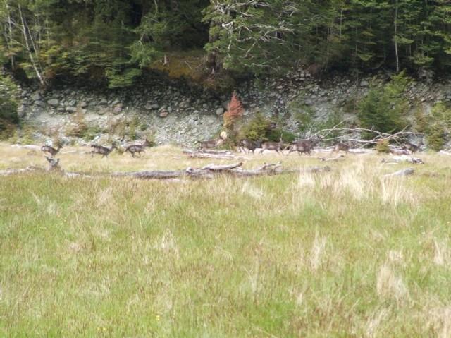Caples Valley Fallow Deer