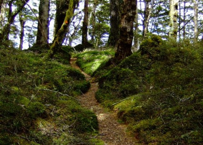 beech forest on Manapouri Circle Track